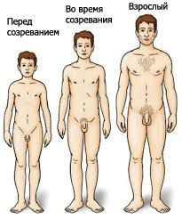 этапы полового развития