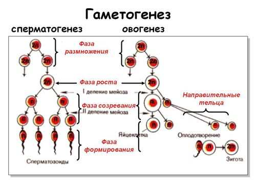гематогенез