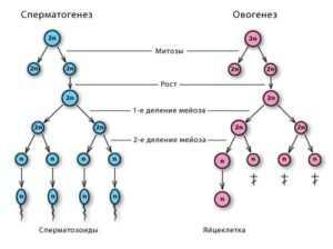 разница между овогенезом и сперматогенезом