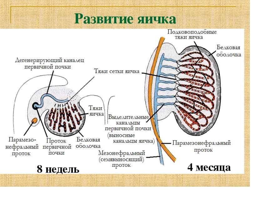 как развиваются яички у мужчины
